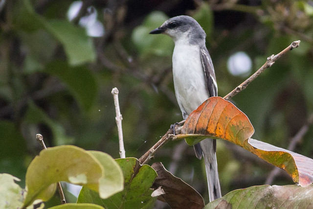 Ashy Minivet  - maybe female