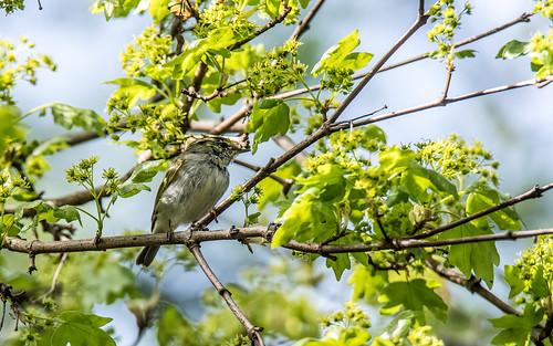 Pallas' leaf warbler - Phylloscopus proregulus - Pallas' boszanger