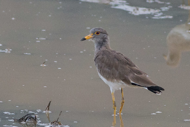 Gray-headed Lapwing