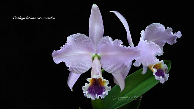 Cattleya labiata var. coerulea
