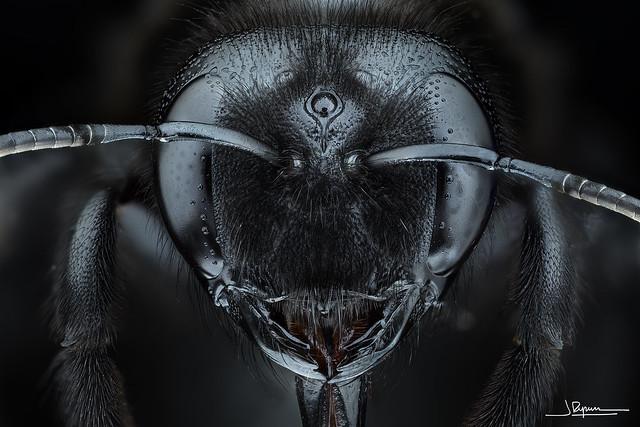 Xylocopa violacea [Explore #23 2020-11-15]