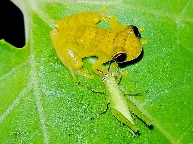 Dendropsophus sp.