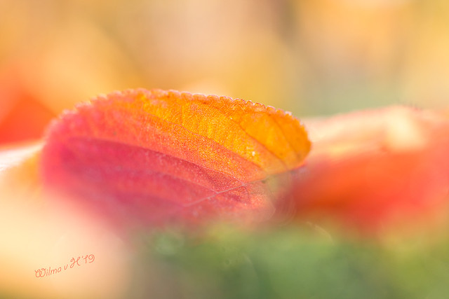 Symphony of Colours - Autumn 2019 - Frozen Autumn leaves on a hedge