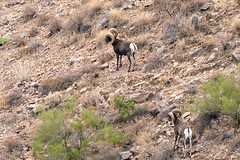 2020 11 Distant Bighorns on Dos Titos 01