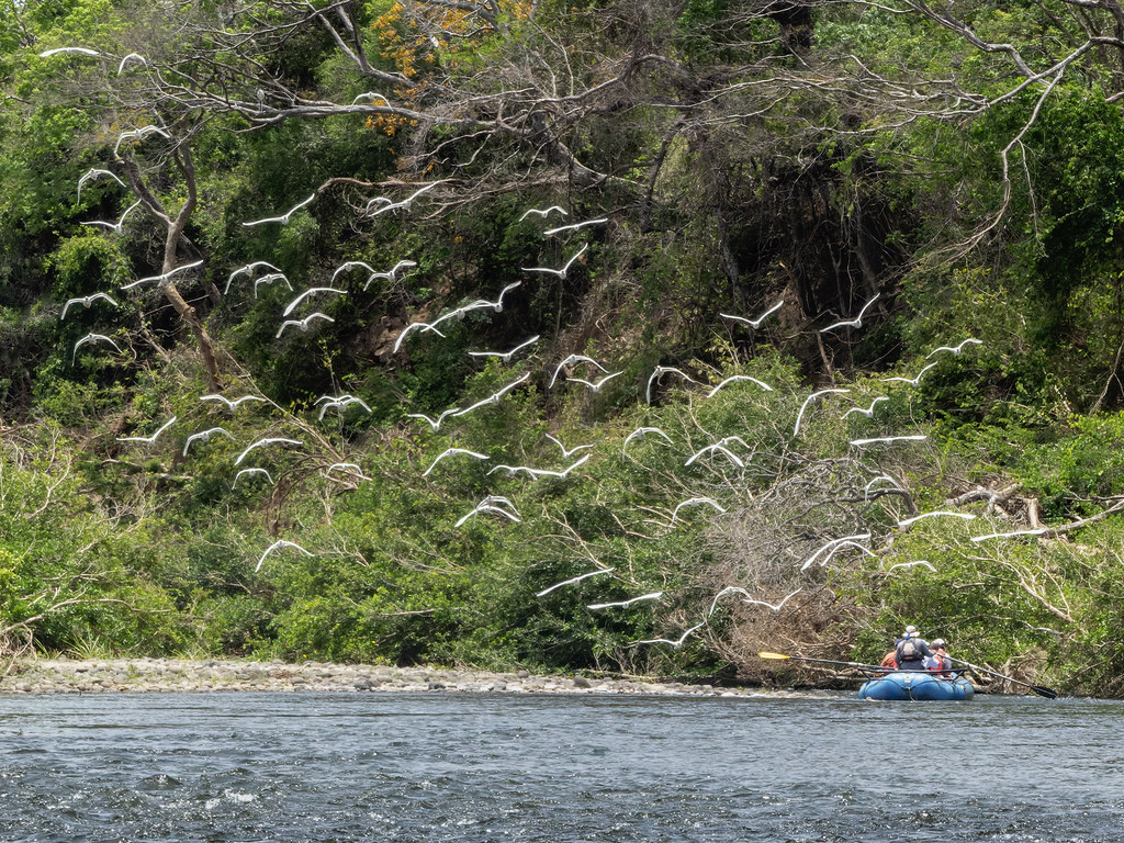 Envol d'aigrettes sur le Rio Tenorio 50600994521_26e4961838_b