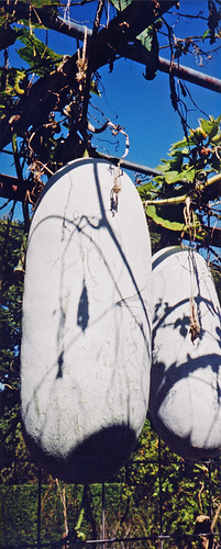 large white squash plant growing in the Kyoto Botanical Garden in Japan