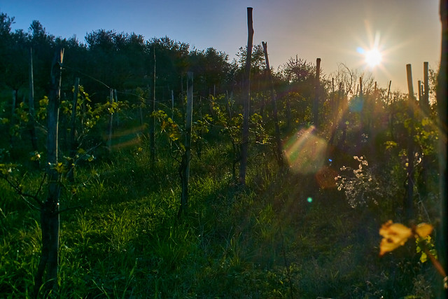 Iridescent flares in the vineyard