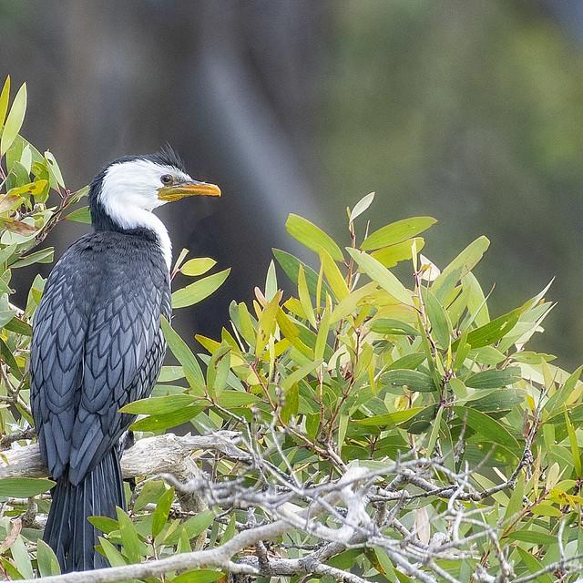 a little pied cormorant