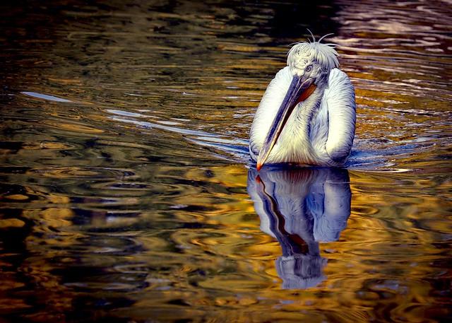 A contemplative pelican 💕