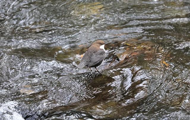 022 Wasseramsel in der Rur Eifel
