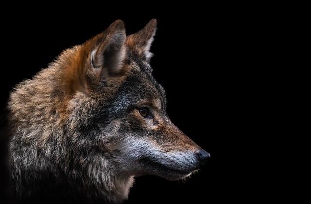 European Grey Wolf Portrait