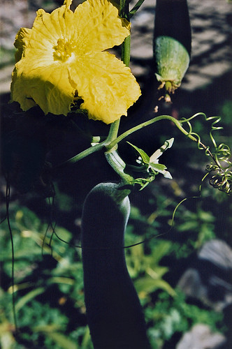 Loofah squash plant growing in the Kyoto Botanical Garden in Japan