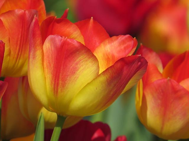RHS Hyde Hall 06-04-2017 Tulip - Varieties (03)