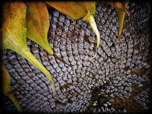 Sunflower seeds run through the photo app Pixlromatic