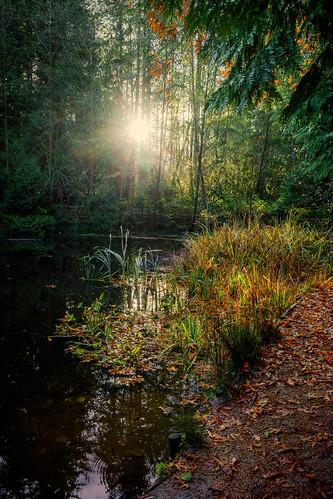 crescentpark pond surrey southsurrey martinsmith ©martinsmith nikonz50 landscape sunburst bc canada trees rushes lightandshadows shadows
