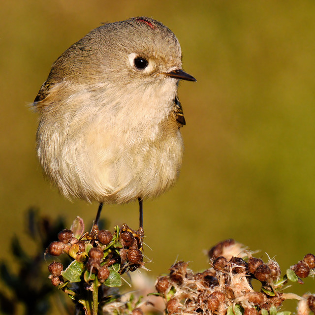 Portrait: Ruby-crowned Kinglet