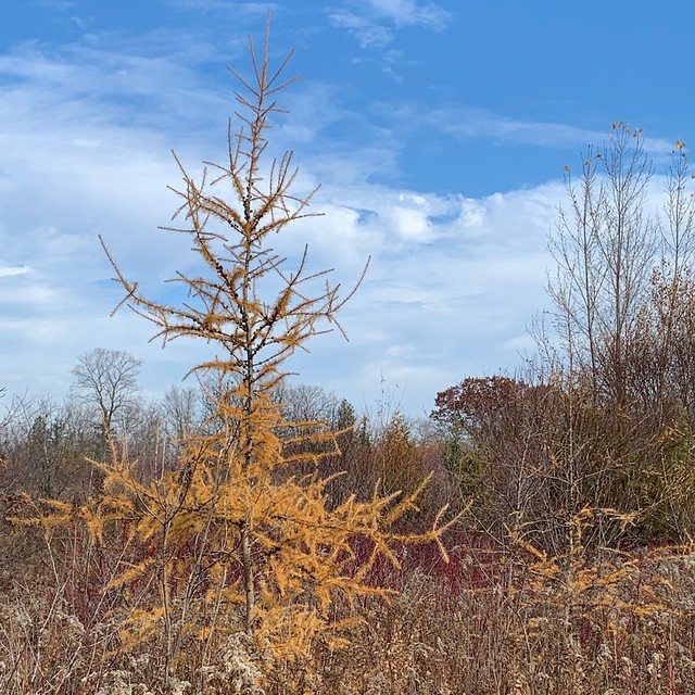 Orange yellow Tamarack tree or American Larch tree , on this beautiful morning with a view from Duffins trail with a blue sky with a great cloud cover in Discovery Bay , cropped photograph , Martin's photographs , Ajax , Ontario , Canada , November 9 2020
