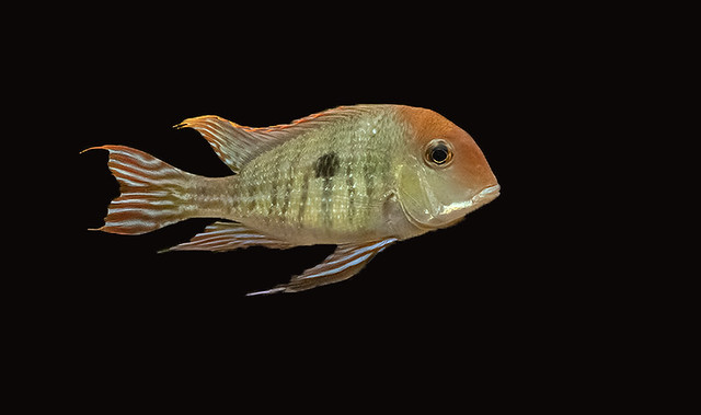 Geophagus Tapajos Red Head