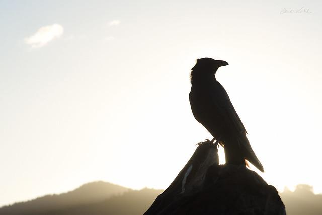 Dawn of the Sun Raven