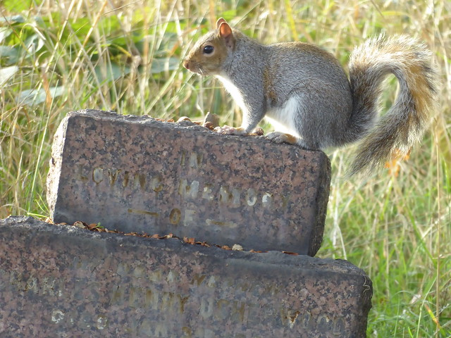Grey Squirrel, Brockley Cemetery, SE London