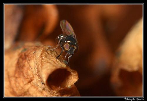 Psilopa nitidula