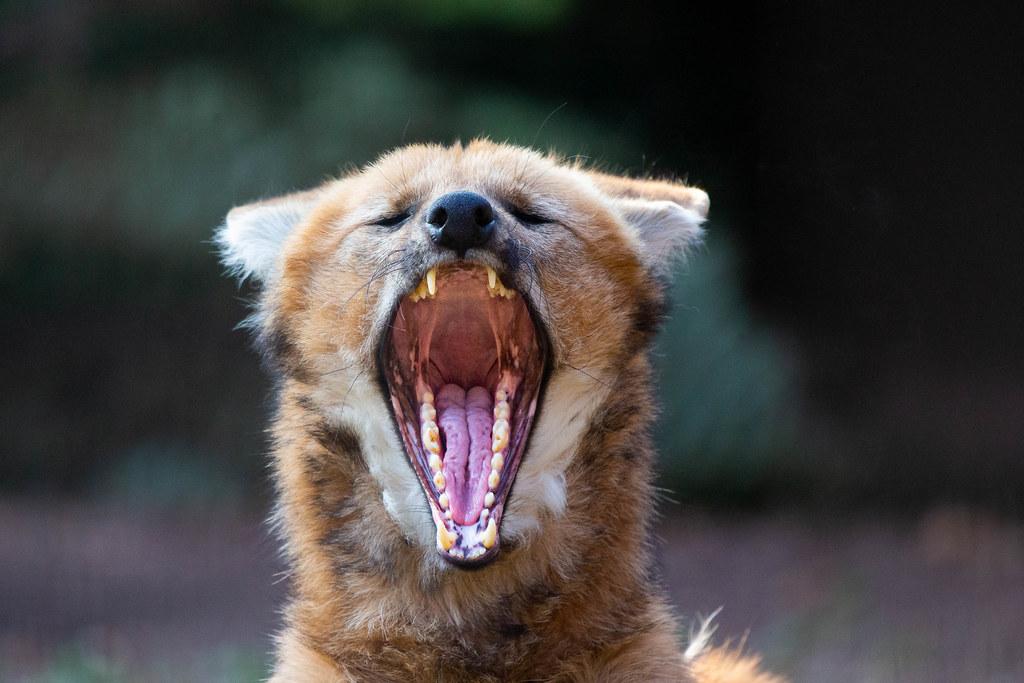 Maned Wolf Yawn
