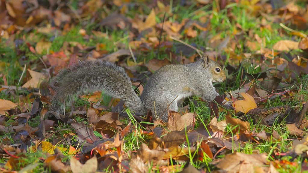 Little Grey in Autumn