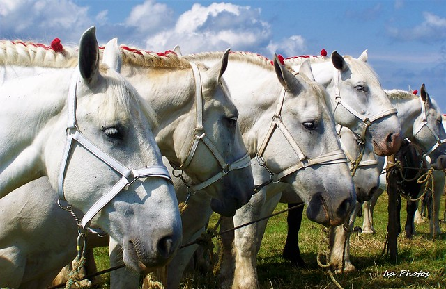Whites horses  (64)