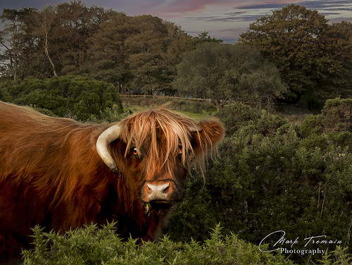 horn highlandcow cow bullock fringe trees hedges fence nose dartmoor dartmoornationalpark clouds sunset