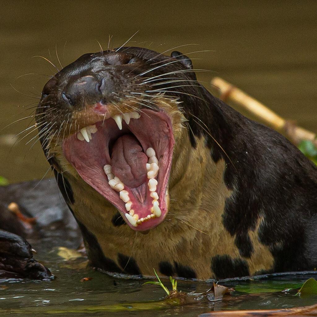 Ariranha - Giant Otter