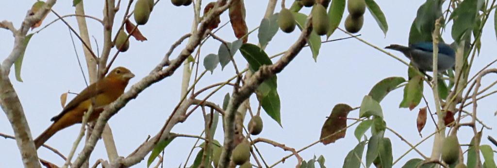 Summer Tanager, Piranga rubra, and Blue-gray Tanager, Thraupis episcopus