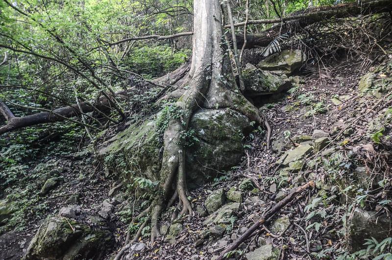 小東河步道樹抱石 (1)