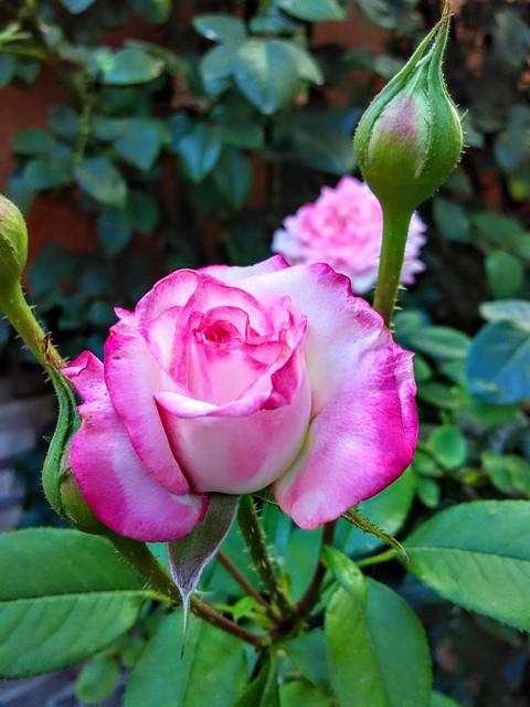 Rosas en el jardín@Roses in the garden