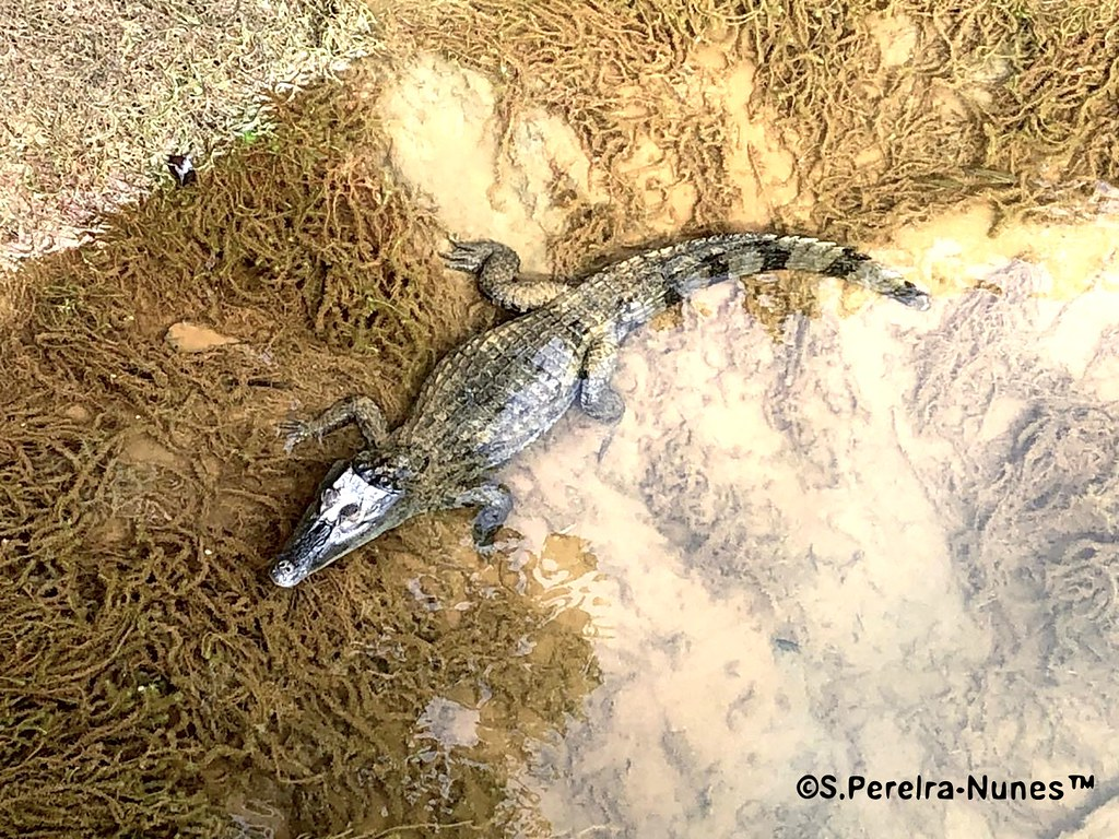 Young Cayman (Caiman) at the Suriname River on the Bergendal Resort, Brokopondo, Suriname