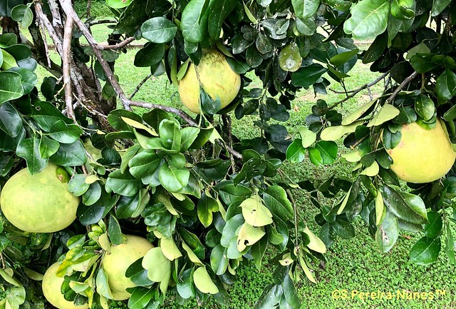 Grapefruit is part of the Orchard of the Bergendal Resort, Suriname