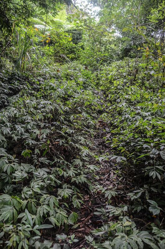 小東河山山徑植被 (2)