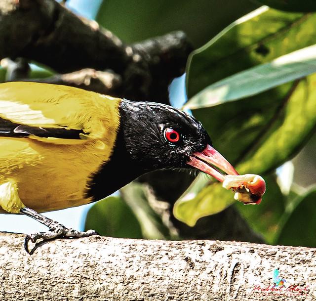 Black-hooded Oriole(Oriolus Xanthornus)