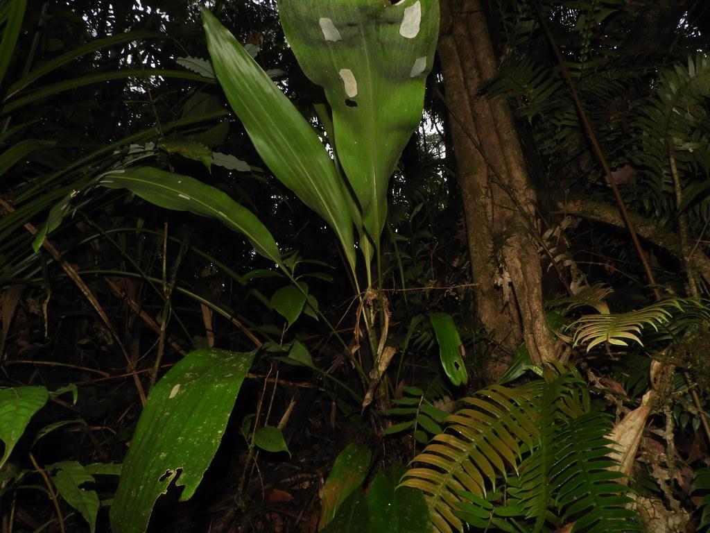 Pitcairnia arcuata (André) André