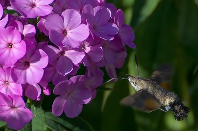 a Hummingbird Hawk-moth in flight