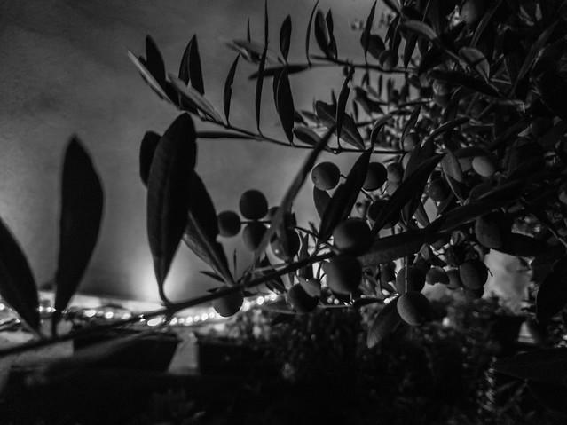 2020-11-14 - Samedi - 319/366 - L'olivier - (Christophe Maé)