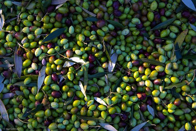 olive harvest IV