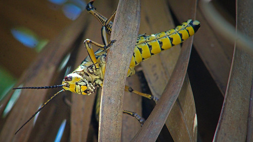2020.07.12 Lower Suwannee NWR Eastern Lubber Grasshopper 11 | by Admiral Elk