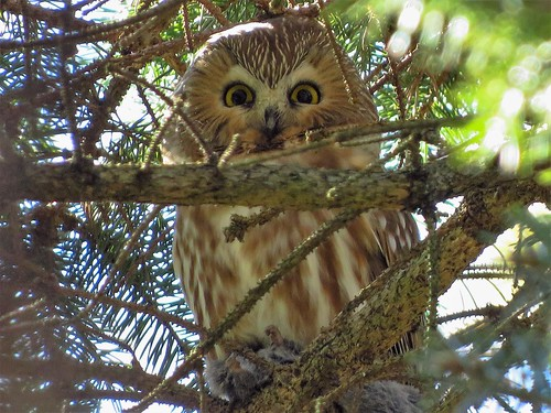 Northern Saw-whet owl | by photosfirst