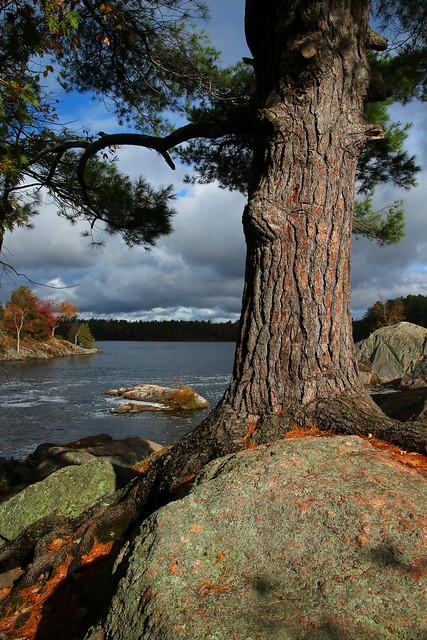 Pine Tree on the Rocks