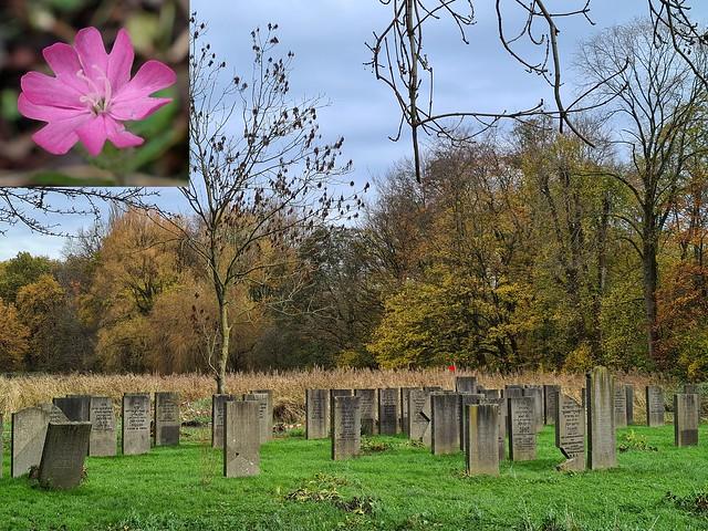 Bright in the Burial Ground. Silene dioica, Red Catchfly, Zeeburg Jewish Cemetery, Amsterdam, The Netherlands