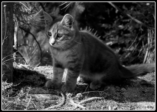 Ah, the curiosity of discovery for kittens , Corsicat , Corsica.