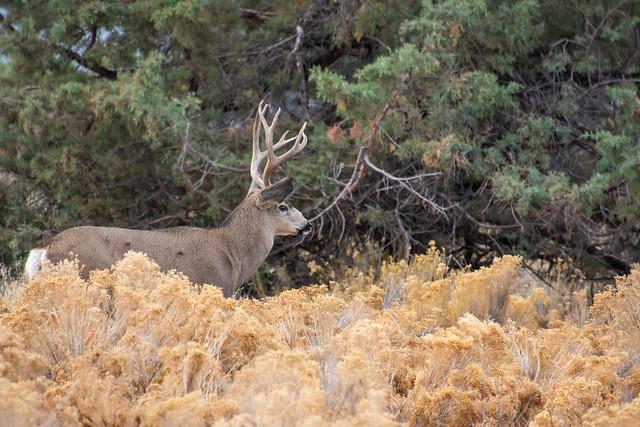 Central Oregon Mule Deer