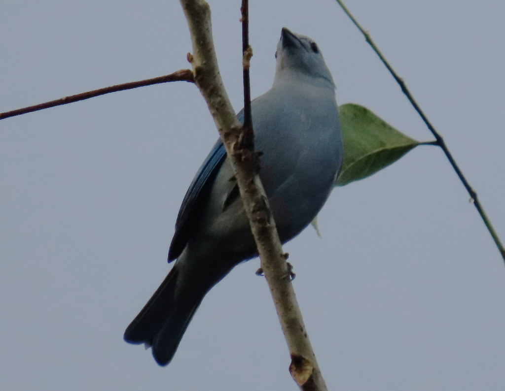 Blue-gray Tanager, Thraupis episcopus