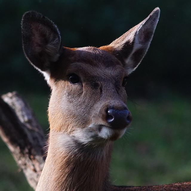 BT Tp      Dybowski's Deer      201108