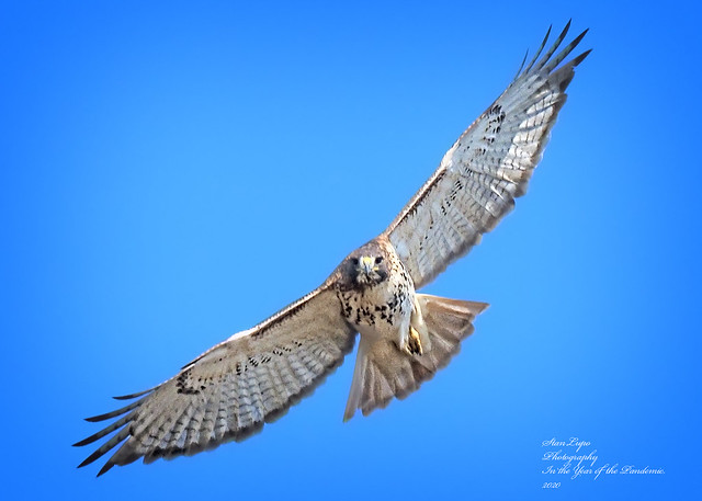Red-tail 7 11_14_20